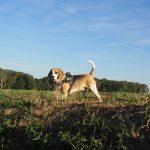 Beagle avec un harnais