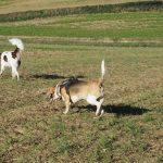 Un beagle suit un épagneul de perdrix