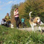 Beagle qui marche devant un Welsh corgi