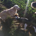 Golden retriever en compagnie d'un petit Beagle