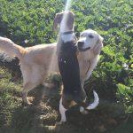 Beagle qui saute sur un Golden