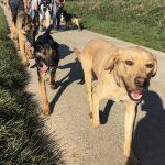 Trois chiens qui trottinent les uns derrière les autres