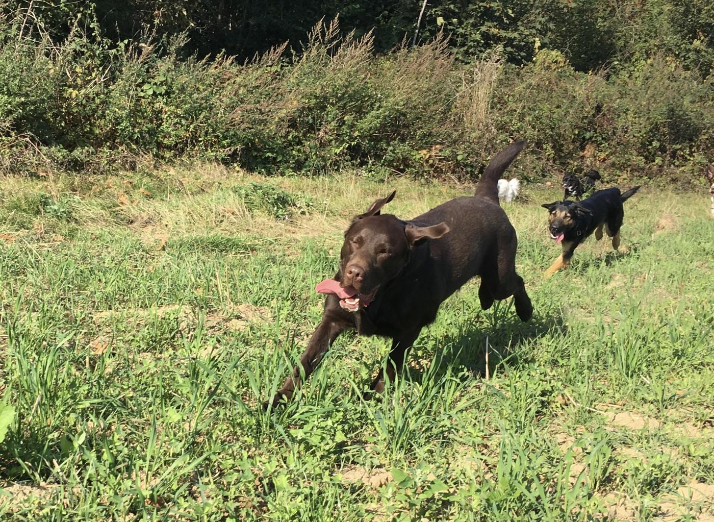 Labrador retriever qui s'amuse lors d'une balade