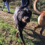 Rottweiler qui est intrigué