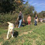 Un Labrador et un Berger allemand en promenade