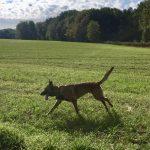 Berger malinois galopant dans une grande prairie