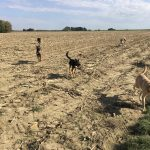 Un croisé labrador, quatre bergers et un akita