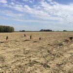 Huit chiens qui gambadent dans un champ
