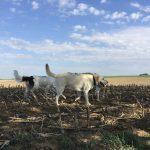 Un Labrador et un Epagneul se baladant dans un champ