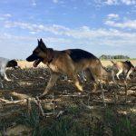 Un berger allemand , un épagneul à perdrix et un beagle