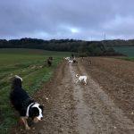 Berger australien, Jack Russel dans un champ avec d'autres chiens