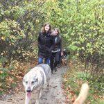 Un Chien-loup tchécoslovaque marche en forêt