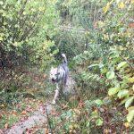 Chien-loup Tchèque dans les broussailles