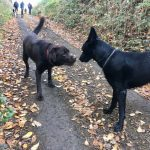 Un Labrador et un Malinois noir font connaissance