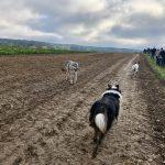 Un Chien Loup marche vers un Berger australien