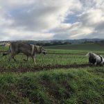 Chien-loup tchécoslovaque suit un Border