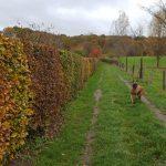 Berger belqe sur un chemin