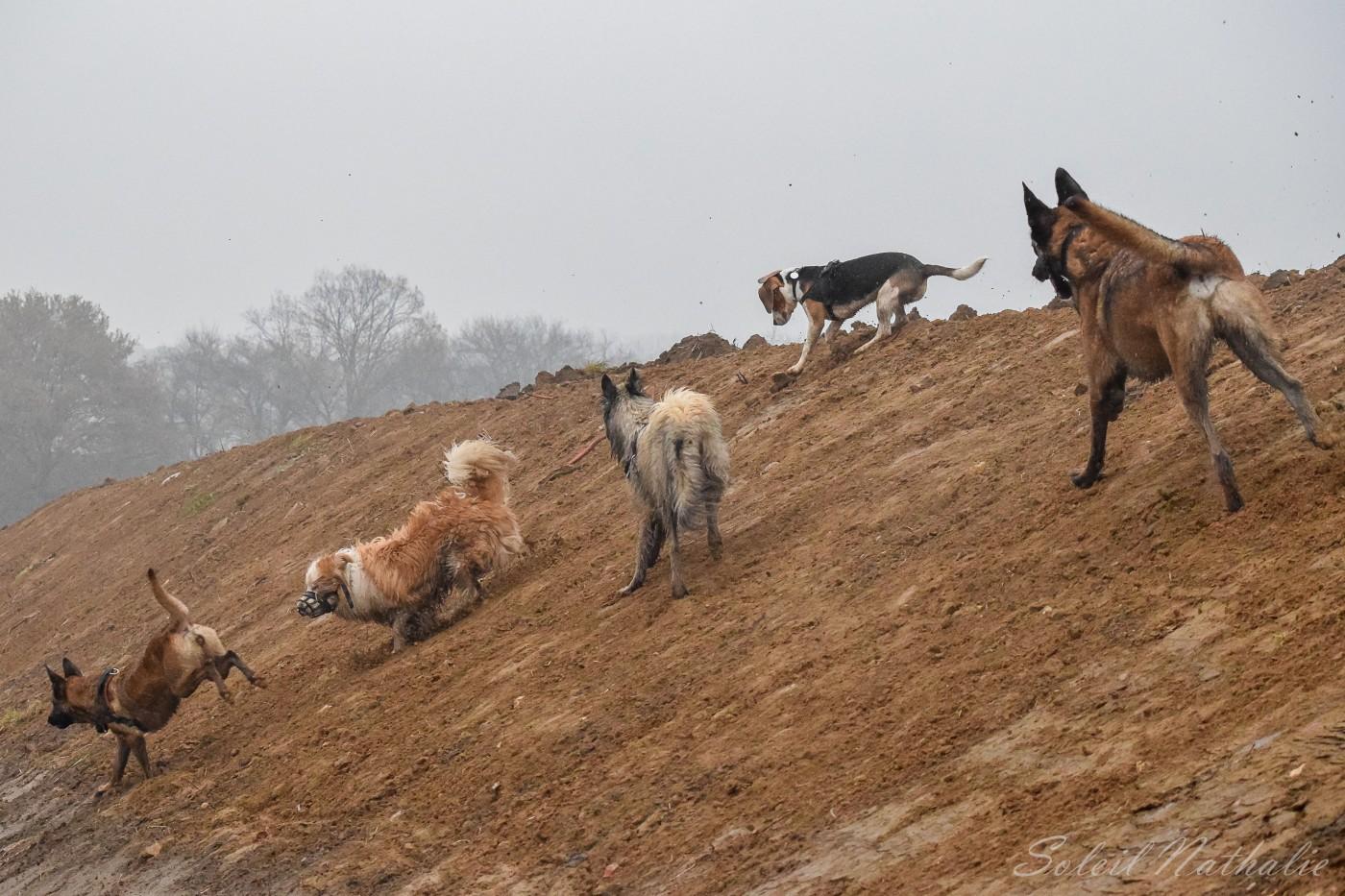 Deux Malinois, un Border-collie et un Tervueren et un Beagle