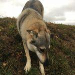 Chien-loup tchèque en descente