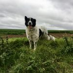 Belle photo d'un chien croisé Border-collie