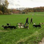Husky, Schapendoes, Beagle, Border, Bouledogue français