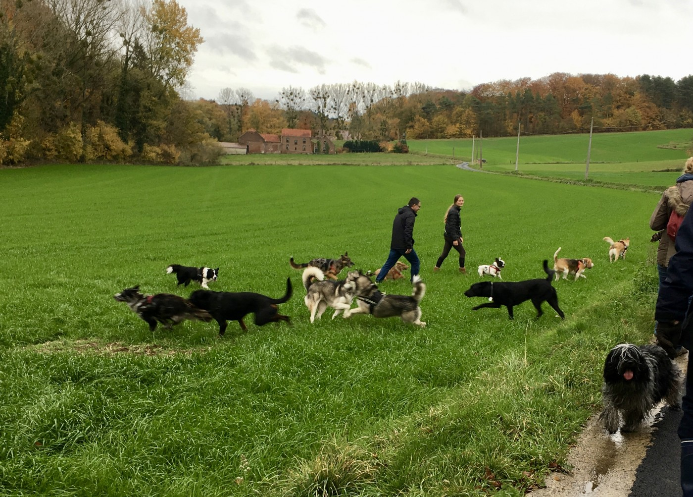 Husky, Schapendoes, Beagle, Border, Bouledogue français