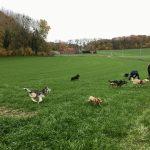Husky, Sheltie, Bergers et Labrador