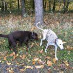 Labrador chocolat et Lévrier bringé