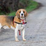 Beagle observateur