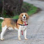 Beagle à cravate