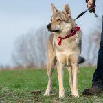 Chien-loup avec bandana rouge