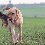 Labrador et Berger allemand en balade