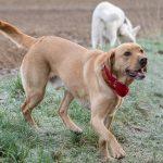 Labrador se promenant