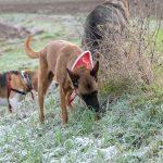 Malinois et Beagle qui sentent
