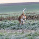 Beagle qui se promène