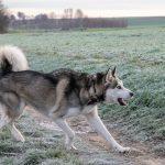 Husky en action