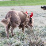 Braque son serre-tête renne