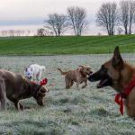 BBS, Malinois, Labrador et Braque dans les champs