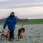 Berger allemand et Labrador qui courent