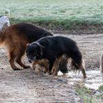 Berger allemand, Golden et chien de berger