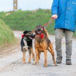 Malinois et chien croisé en balade à la laisse