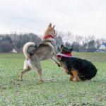 Interaction entre Berger allemand et Chien-loup