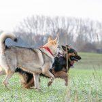 Chien-loup et Berger allemand dans les champs