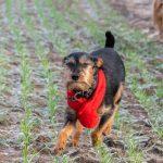 Griffon avec son écharpe rouge