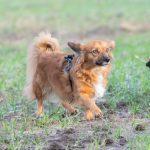 Deux petits chiens dans les champs