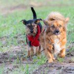 Deux petits chiens gambadant dans les champs