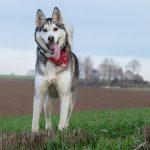 Husky dans les champs