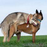 Malinois et Chien-loup qui s'aiment