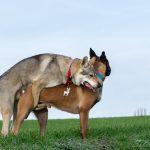 Malinois et Chien-loup qui s'accouplent