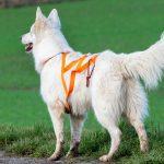 Berger blanc suisse et sa laisse orange